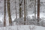 Woodlands in Winter along Millers River, Bearsden Conservation Area, Athol, MA