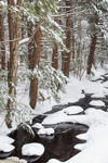 Bailey Brook through Conifer Forest after Snowstorm, Gardner, MA