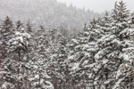 Conifers on Mount Huntington During Snowstorm, White Mountain National Forest, Lincoln, NH