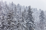 Conifer Forest at Kancamagus Pass During Snowstorm, White Mountain National Forest, Livermore, NH