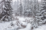 Conifer Forest along Downes Brook During Snowstorm, White Mountain National Forest, Albany, NH