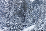 Conifer Forest along Swift River During Snowstorm, White Mountain National Forest, Albany, NH