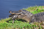 Close Up of American Alligator with Waterfowl in its Mouth along Pintail Wildlife Drive, Cameron Prairie National Wildlife Refuge, Cameron Parish, LA