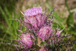 Close Up of Field Thistles in Bloom in Early Spring along Pintail Wildlife Drive, Cameron Prairie National Wildlife Refuge, Cameron Parish, LA