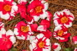 Close Up of Fallen Red and White Camellias on Forest Floor in Camellia Garden at Hodges Gardens State Park, Florien, LA