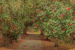 Path into Camellia Garden in Hodges Gardens State Park, Florien, LA