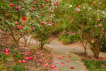 Camellias in Bloom along Stone Path in Camellia Garden at Hodges Gardens State Park, Florien, LA