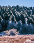 Heavy Frost on Meadow Grasses and Evergreen Trees, (Backlit View), Templeton, MA