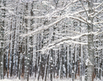 White Pine Forest in Winter, Mt. Grace State Forest, Warwick, MA