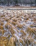 Tussock Sedge on Lamberton Brook in Winter, West Brookfield and Warren, MA