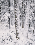 Oak and White Pine Forest after Heavy Snowfall, Athol, MA
