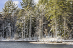 Conifer Forest and Wetlands along Lawrence Brook after Early Spring Snowfall, Royalston, MA