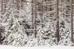 Conifer Forest after Early Spring Snowfall, Fitzwilliam, NH