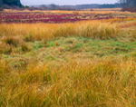 Meadow and Cranberry Bog in Autumn, Nantucket, MA