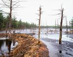 Beaver Dam and Lodges in Thawing Wetlands at Quabbin Reservoir, New Salem, MA