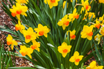 Close Up of Daffodils in Spring, Athol, MA