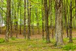 Sugarbush of Maple Trees on Bascom Hill Farm, Westhampton, MA