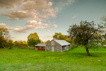 Wooden Barn, Apple Tree, and Meadow at Bascom Hill Farm in Early Evening Light, Westhampton, MA