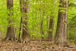 Oak Trees with American Beech Tree Saplings on Bascom Hill, Bascom Hill Farm, Westhampton, MA