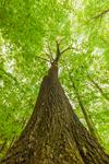 Looking Skyward from Big Old Oak Tree on Hillside of Bascom Hill, Bascom Hill Farm, Westhampton, MA
