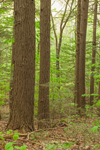 Eastern Hemlock Trees in Forest at Bascom Hill Farm, Westhampton, MA