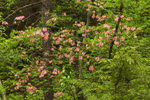 June Pink in Full Bloom in Woodlands at Birch HIll Wildlife Management Area, Winchendon, MA