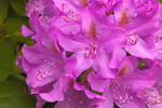 Close Up of Catawba Rhodoendron Flowers in Full Bloom, Royalston, MA