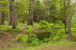 Small Wetlands near Millers River in Birch Hill Wildlife Management Area, Winchendon, MA
