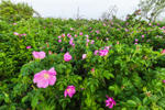 Beach Roses (Rosa rugosa) on Pine Island, Pine Island Bay off Fishers Island Sound, Groton, CT