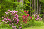 Colorful Rhododendrons along Forest Edge, West Hartland, CT
