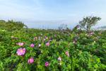 Beach Roses (Rosa rugosa) on Pine Island, Pine Island Bay off Fishers Island Sound, Groton, CT