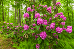 Catawba Rhododendrons in Moore State Park, Paxton, MA