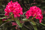 Close up of Rhododendron Blossoms in Moore State Park, Paxton, MA