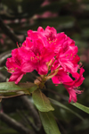 Close up of Rhododendron Blossom in Moore State Park, Paxton, MA