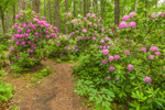Trail through Catawba Rhododendrons in Moore State Park, Paxton, MA