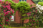 Colorful Rhododendrons in Front of Country Home, Rutland, MA