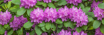 Catawba Rhododendrons in Full Bloom in Moore State Park, Paxton, MA