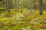 Mosses and Lichens on Forest Floor in Spruce Forest, Mount Desert Island, Seal Harbor, ME