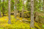 Moss-covered Forest Floor in Spruce Forest, Mount Desert Isand, Seal Harbor, ME