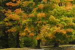 Colorful Sugar Maple Trees behind Stone Wall in Autumn, Pomfret, CT