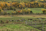 Dairy Cows Grazing in Pasture in Autumn, Sharon, CT