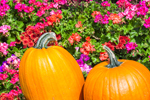 Close Up of Pumpkins and Geraniums at Stowe Maple Products, Stowe, VT