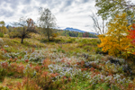 Field of Asters with Mount Mansfield in Background, Underhill, VT