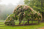 Old Hydrangea Tree and Split Rail Fence, Walpole, NH