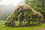Old Hydrangea Tree and Split Rail Fence, Walpole, NH