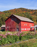 Big Red Barn and Flowers in Fall on Laughing Child Farm, Pawlet, VT