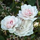 Roses on Huckle Hill, Bernardston, MA
