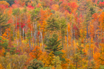 Hillside of Fall Colors and White Pine Trees at Austin Pond, Adirondack Park, North Creek, NY