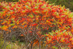 Staghorn Sumac in Fall Foliage near Austin Pond, Adirondack Park, North Creek, NY