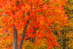 Brilliant Fall Foliage on Red Maple Tree, Adirondack Park, St. Armand, NY